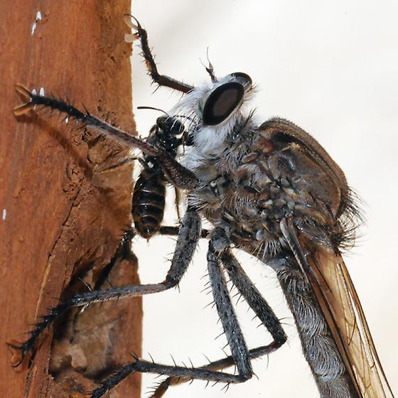Proctacanthus nearno - male