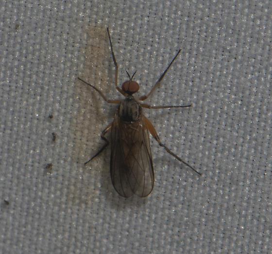 Dance flies sp. - Rhamphomyia - male