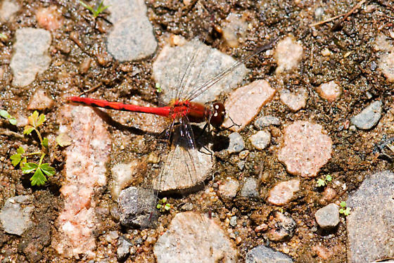 Dragonfly #2-White-faced Meadowhawk - Sympetrum obtrusum - male
