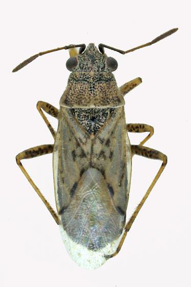 Seed bug - Nysius