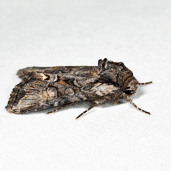 Lacinipolia teligera - Lacinipolia vicina