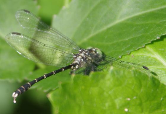 Clubtail? - Stylogomphus albistylus