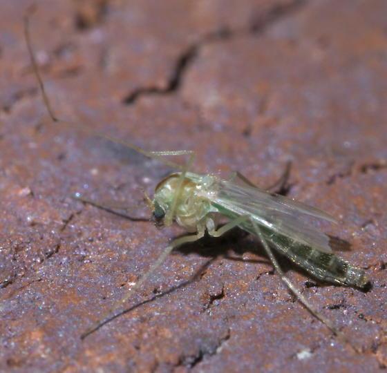 Brown and greenish midge - female