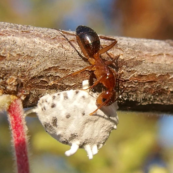 scale insect? - Crypticerya