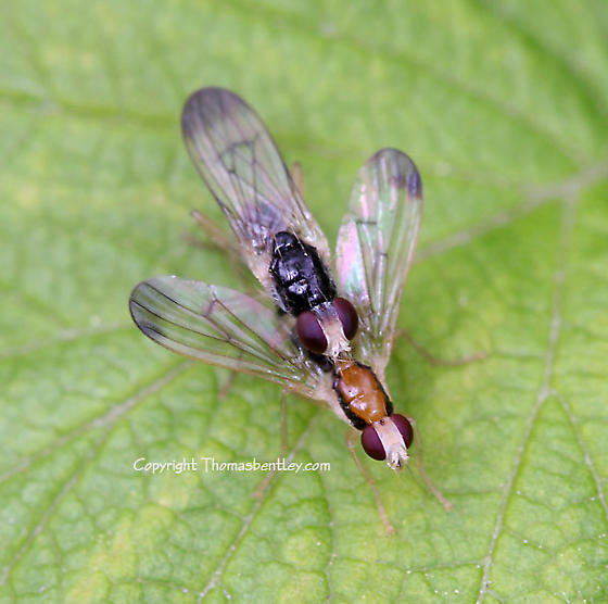 Flies - Cordilura - male - female