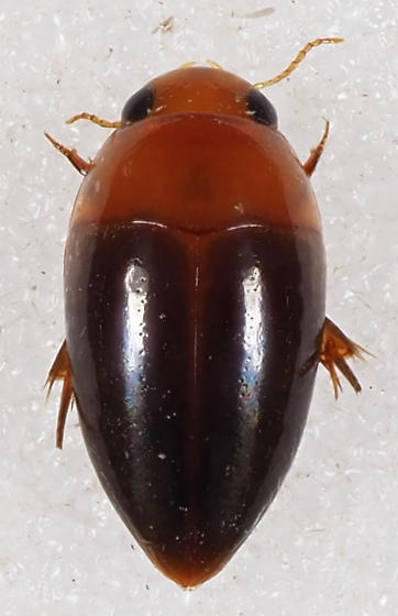 Noteridae - Hydrocanthus
