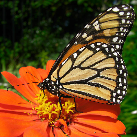 Monarch Butterfly - Danaus plexippus - male