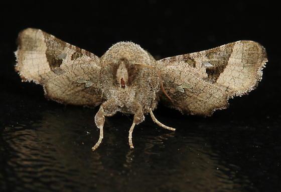Dysodia granulata