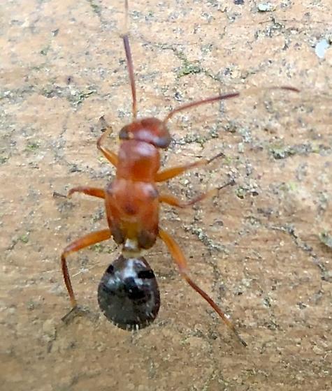 Ant-like insect nymph? - Mexicomiris texanus