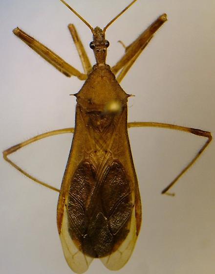 Reduviid - Rocconota annulicornis