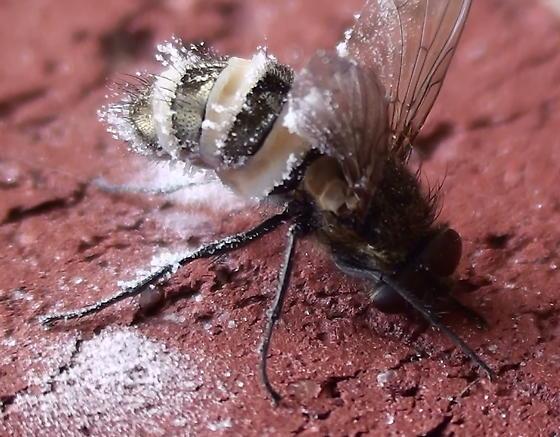 Fly: pathogenic fungi