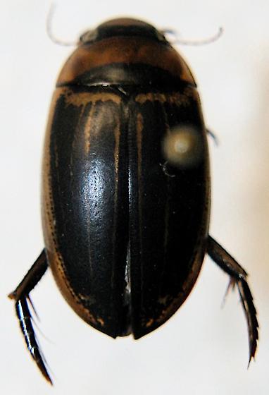 Predacious Diving Beetle - Hydaticus aruspex