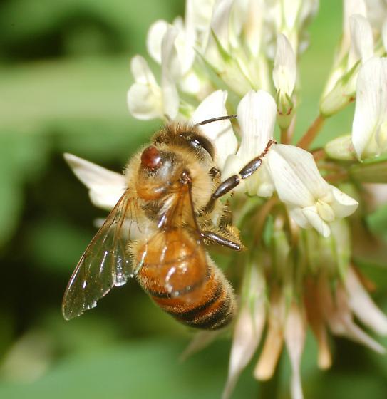 bee parasite - Varroa destructor