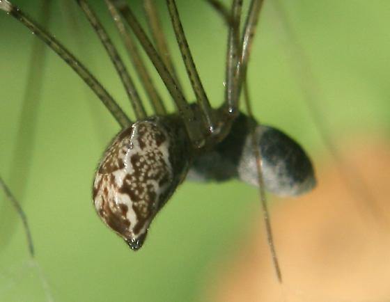 Crossopriza lyoni and maybe not - Holocnemus pluchei? - Holocnemus pluchei