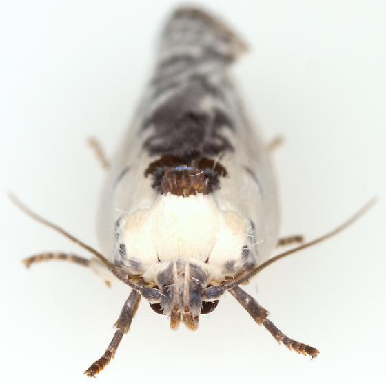 Moth - Antaeotricha