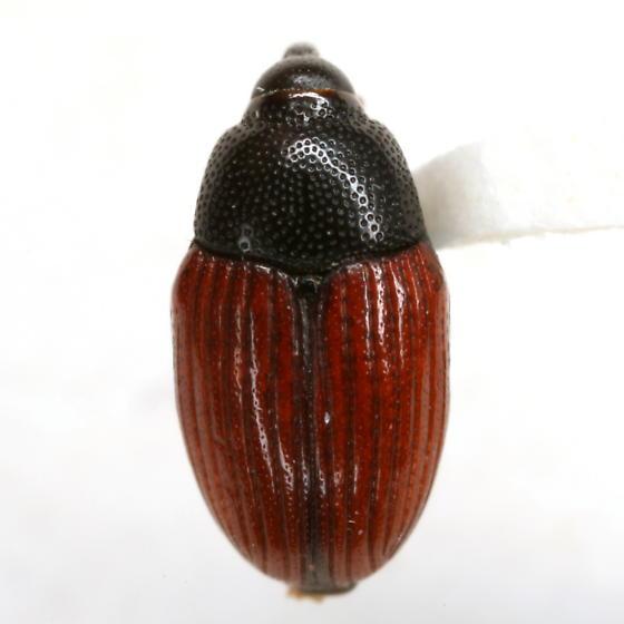 Stethobaris cicatricosa Casey - Stethobaris cicatricosa