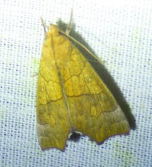 Anomis erosa - Yellow Scallop Moth - Anomis erosa
