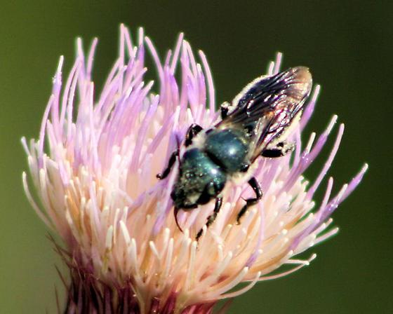 Blue Bug - Osmia chalybea