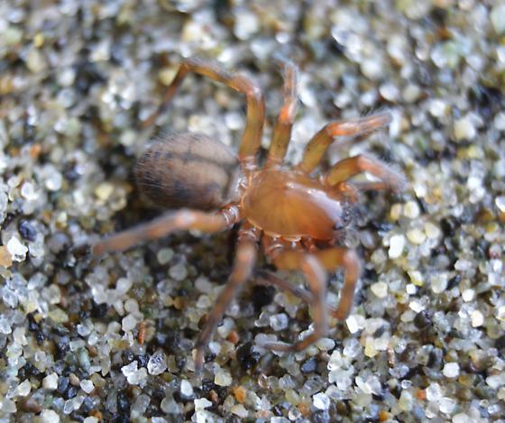 sand spider - Callobius