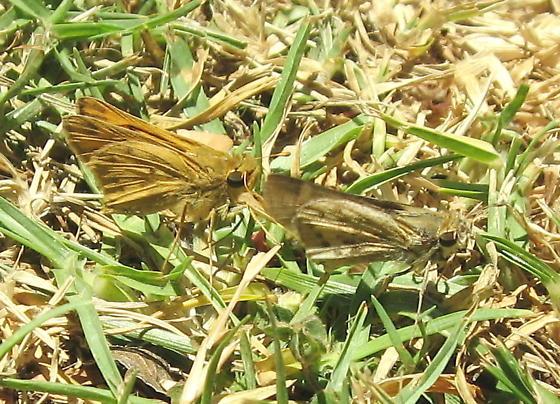 Pair of Fiery Skippers - Hylephila phyleus - male - female