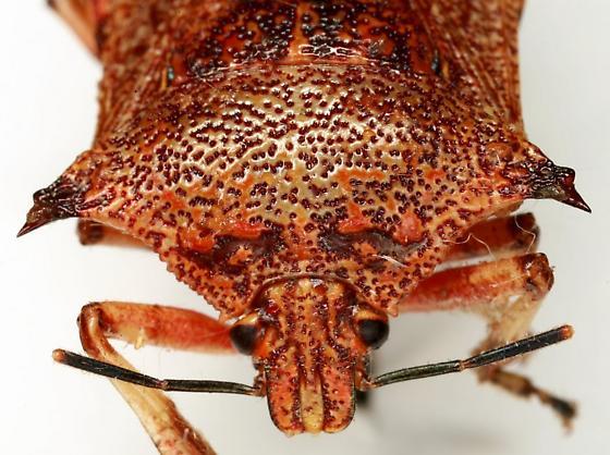 Alcaeorrhynchus grandis (Dallas) - Alcaeorrhynchus grandis