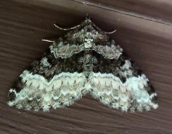 Geometridae: Euphyia intermediata? - Euphyia intermediata