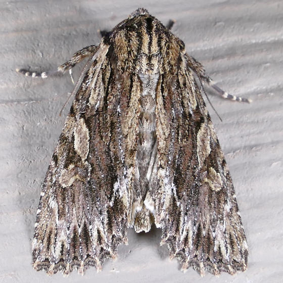 Confused Woodgrain - Morrisonia confusa
