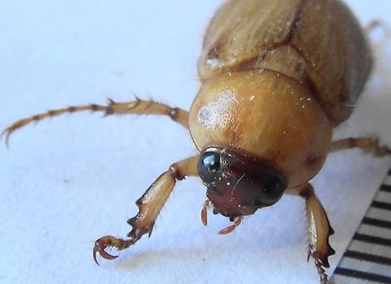 Masked Chafer with Pointy Face - Cyclocephala - male