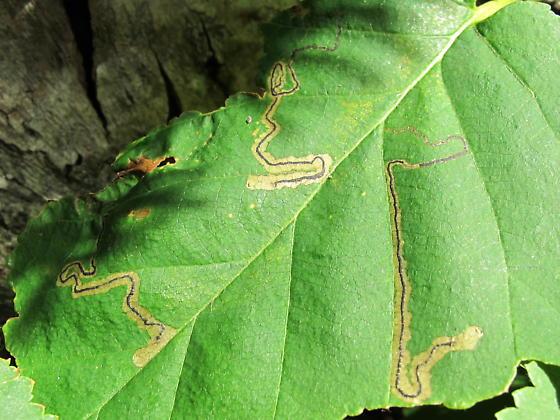 Betula miner - Stigmella lapponica
