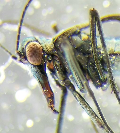 Boreidae: Boreus sp. - Boreus coloradensis - male