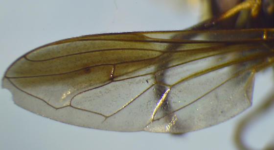 Syrphid - Temnostoma balyras