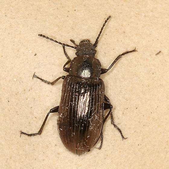bronze darkling beetle - Helops laetus