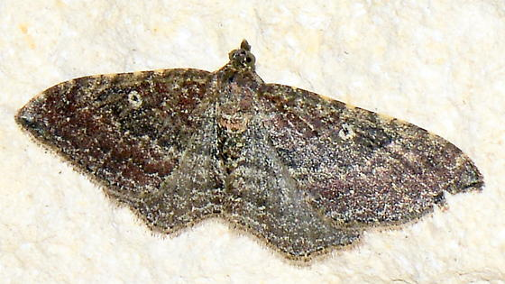 Please help us to identify this moth. - Orthonama obstipata