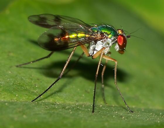 Long-Legged Fly - Condylostylus