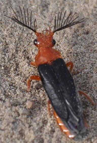 R/O banded glow worm - Zarhipis integripennis