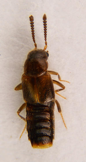 Very small staphylinid