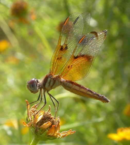 Slough Amberwing - Perithemis domitia - female