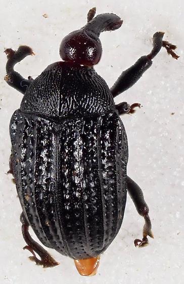 Unknown Weevil - Rhyssomatus