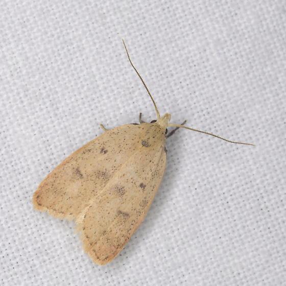 Gold-striped Leaftier, Machimia tentoriferella? - Machimia tentoriferella