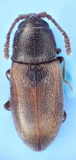 less two-toned - Atomaria wollastoni