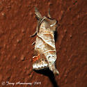 Apical Prominent - Hodges#7901 - Clostera inclusa