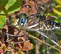 Aeshna mosaic darner - paddle-tailed - Aeshna palmata - female