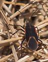Orange-trimmed bug - Boisea trivittata