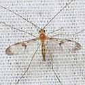 Macrocera - male