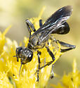 Wasp ID - Prionyx