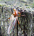 March Fly - Bibio articulatus - female
