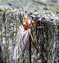 March Fly - Bibio articulatus - female