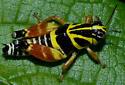 unknown grasshopper - Aidemona azteca