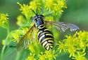Flower Fly - Chrysotoxum