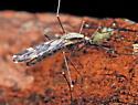 Mosquito - Anopheles - female